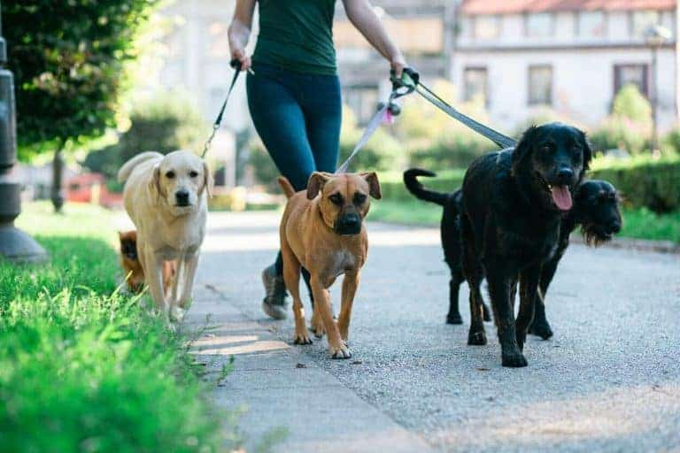 woman walking four dogs as a side hustle